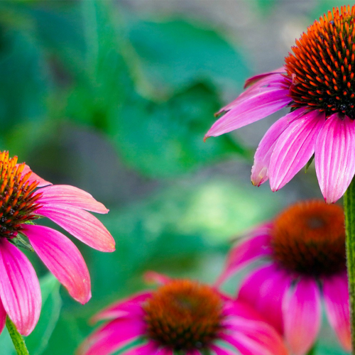 Ask Dr. Phipps: Purple Coneflower Problems