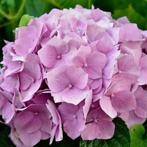 Ask Dr. Phipps: Hydrangea Help