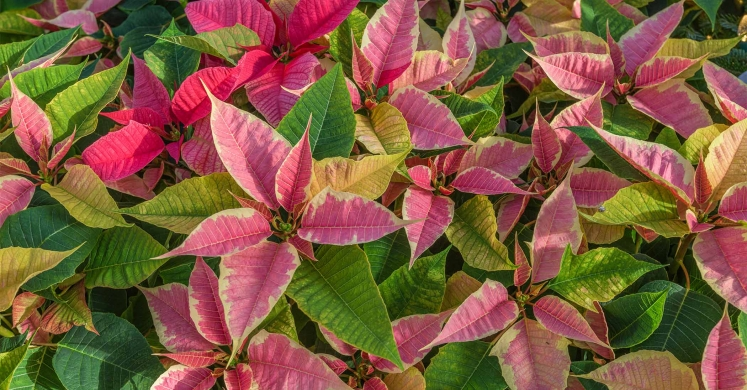 Ask Dr. Phipps: Poinsettia Problems