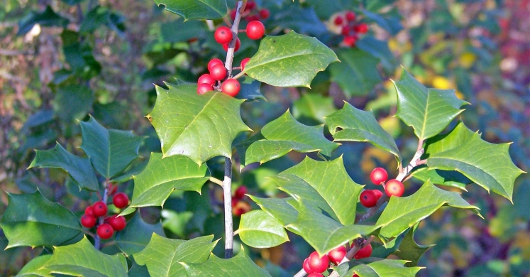 Ask Dr. Phipps: Holly Care