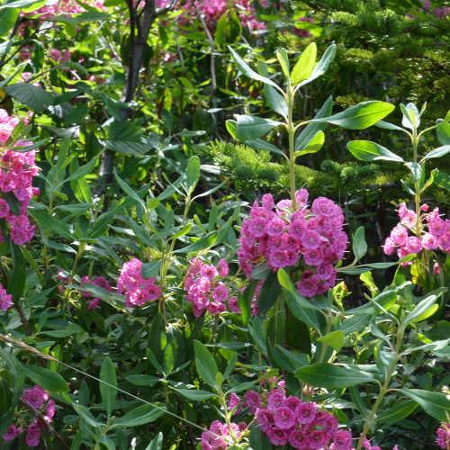 Ask Dr. Phipps: Native Evergreen Shrubs