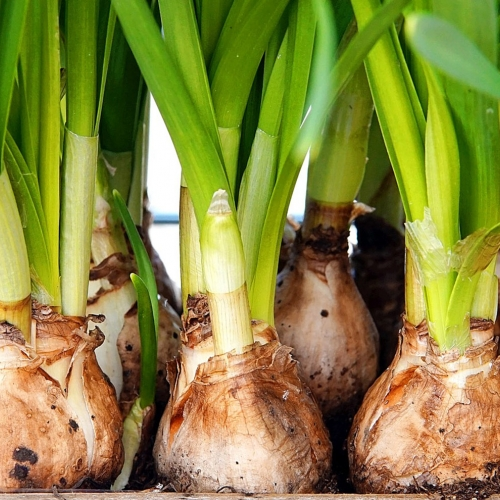 Ask Dr. Phipps: Beautiful Bulbs