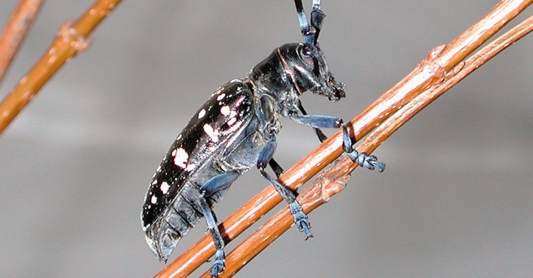 #bioPGH Blog: Asian Longhorned Beetle
