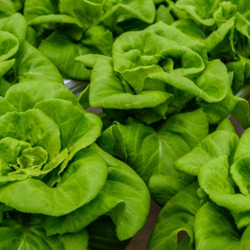 What We're Cooking With Now: Bibb Lettuce