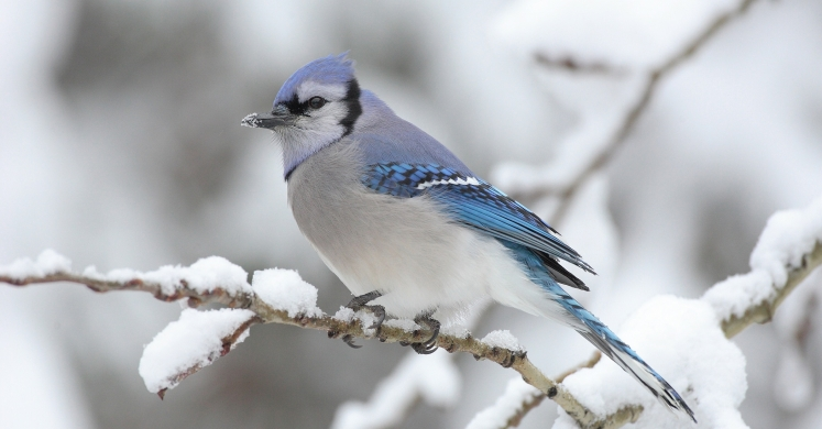 #bioPGH Blog: Blue Jays the Tricksters!