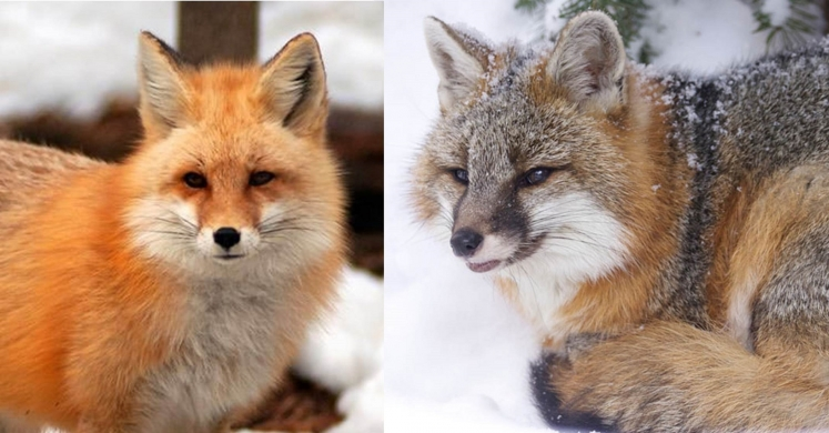 #bioPGH Blog: Red and Gray Foxes