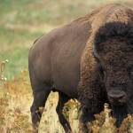 #bioPGH Blog: Were They or Weren't They? The Pennsylvania Bison Natural History Mystery