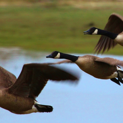 #bioPGH Blog: Canada Geese in Pittsburgh