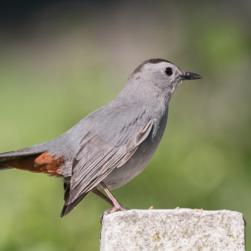 #bioPGH Blog: Mockingbird or Catbird?