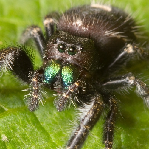 #bioPGH Blog: Leaping for Jumping Spiders!