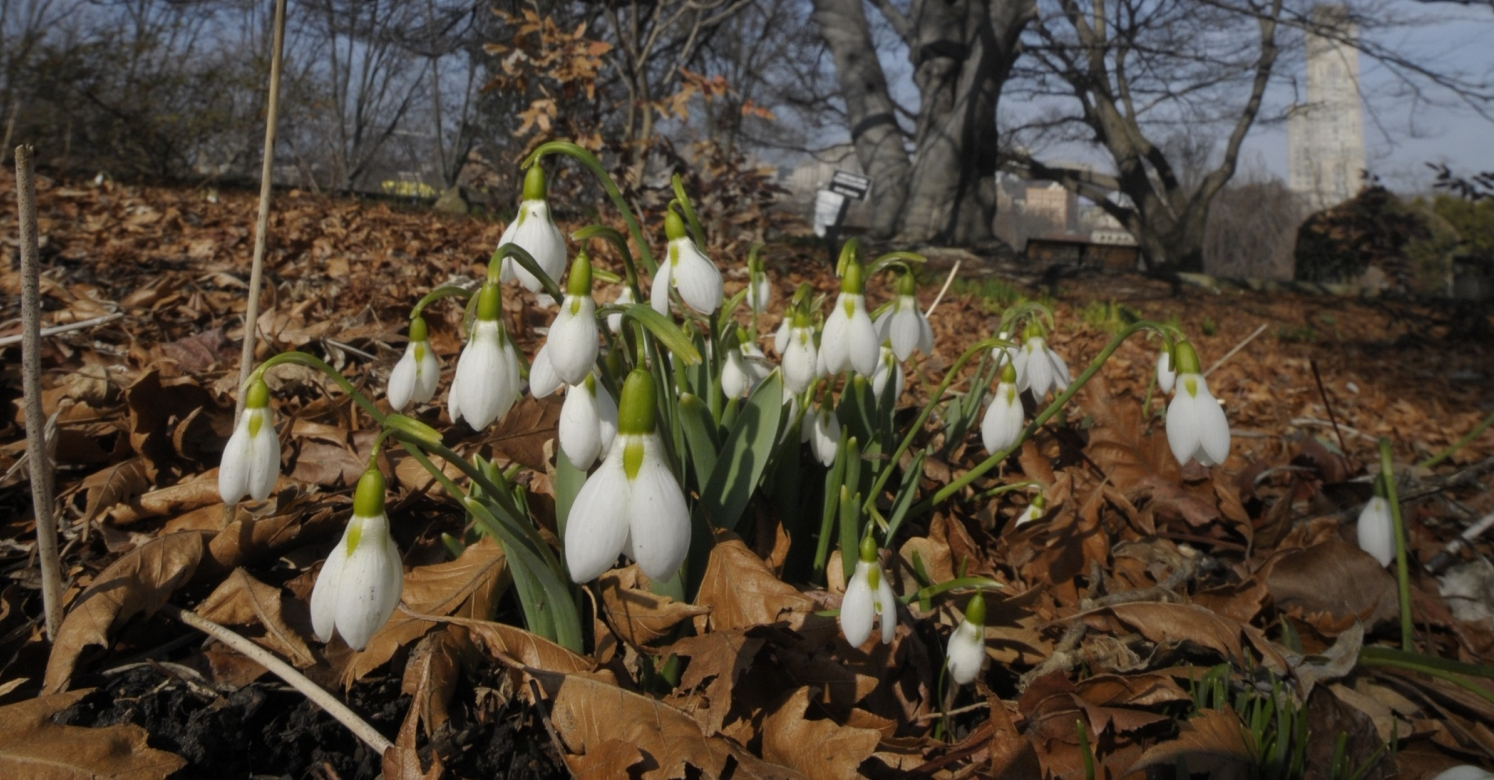 Biopgh Blog Snowdrops Phipps Conservatory And Botanical Gardens