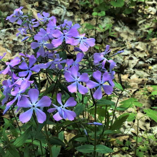 #bioPGH Blog: Phlox or Dame's Rocket?
