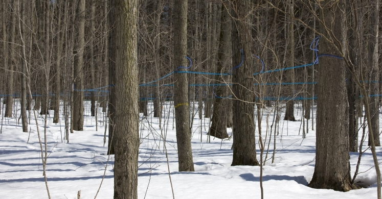 #bioPGH Blog: Maple Syrup Season