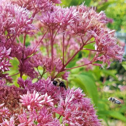 #bioPGH Blog: Joe-pye Weed