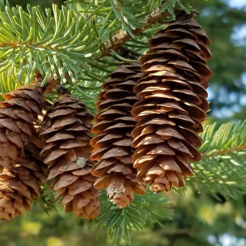 #bioPGH Blog: Conifer Cones
