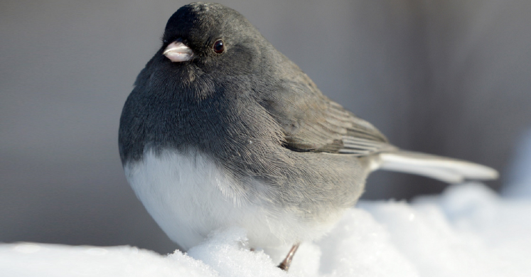 "#bioPGH Blog: Juncos – When ""South for the Winter"" Means Pennsylvania!"