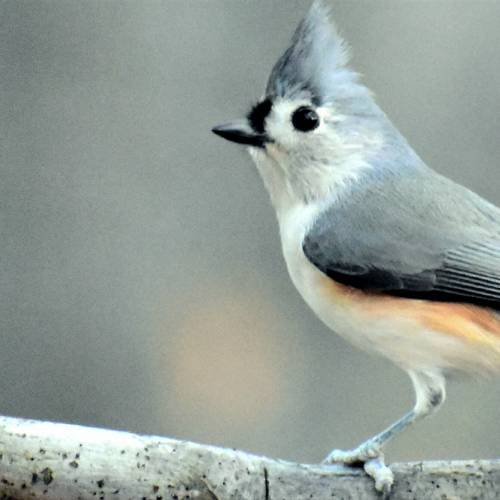 #bioPGH Blog: The Tufted Titmouse