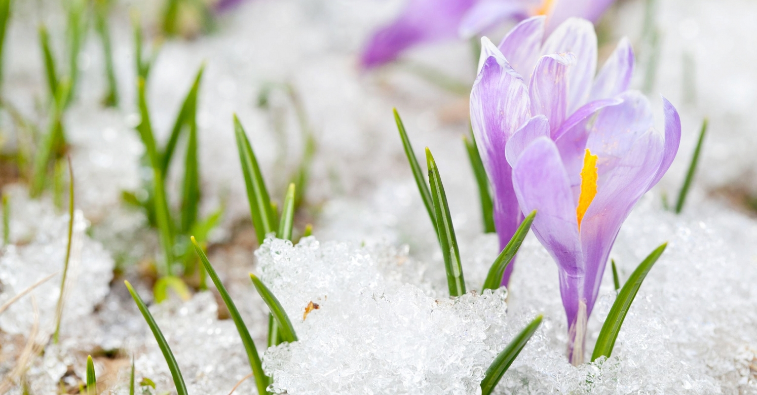 Biopgh Blog Snow Crocus Phipps Conservatory And Botanical