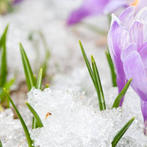 #bioPGH Blog: Snow Crocus