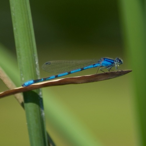 #bioPGH Blog: Damselflies