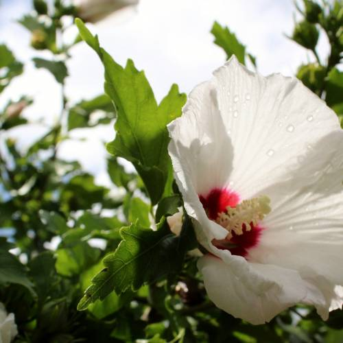 Ask Dr. Phipps: Rose of Sharon Removal