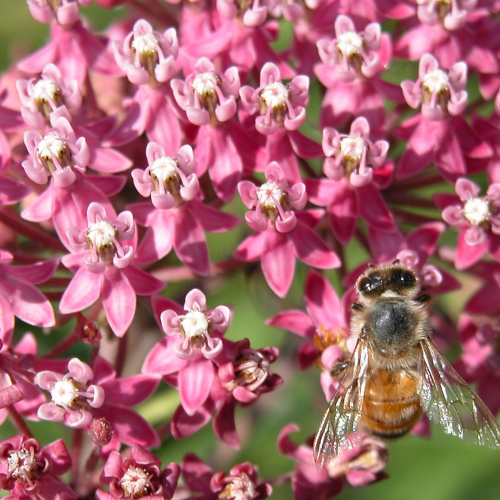 Ask Dr. Phipps: Growing Milkweed