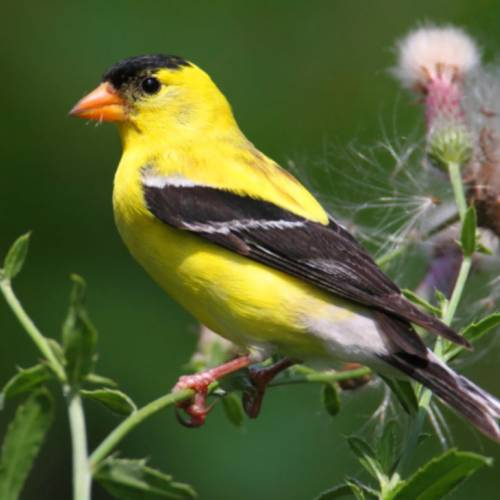 #bioPGH Blog: Goldfinches
