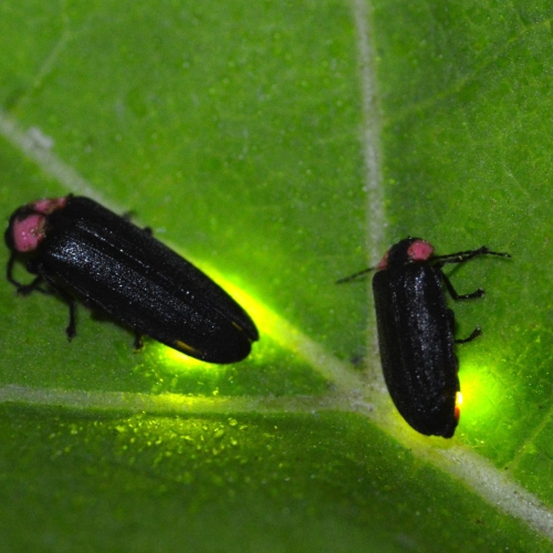 #bioPGH Blog: Fireflies in the Headlines