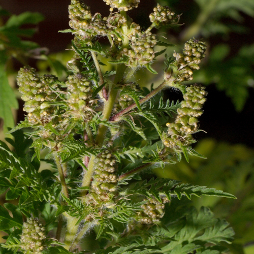 #bioPGH Blog: Ragweed