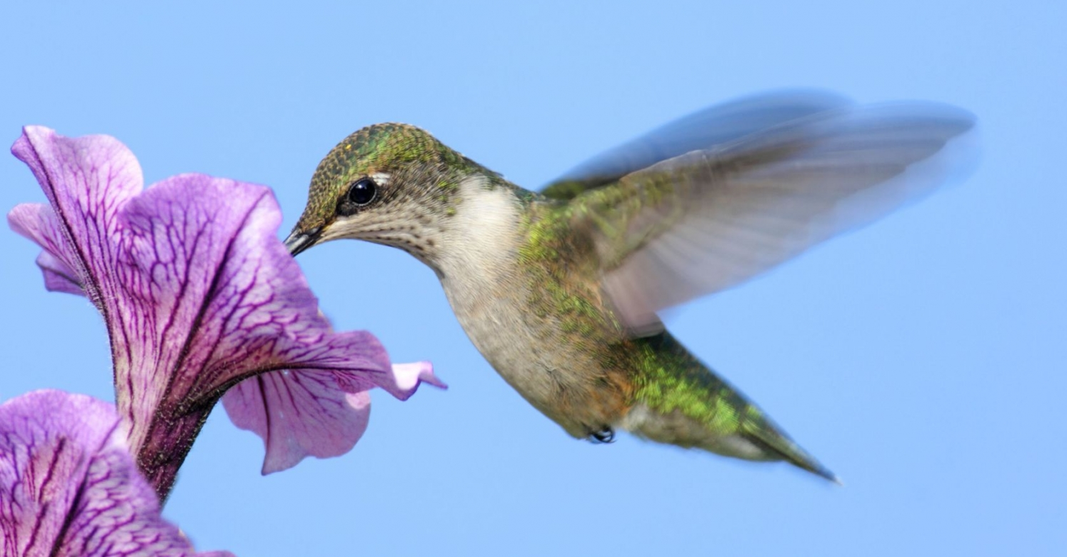 helpful hummingbirds | phipps conservatory and botanical