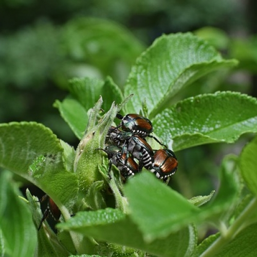 Ask Dr. Phipps: Get a Jump on Japanese Beetles!