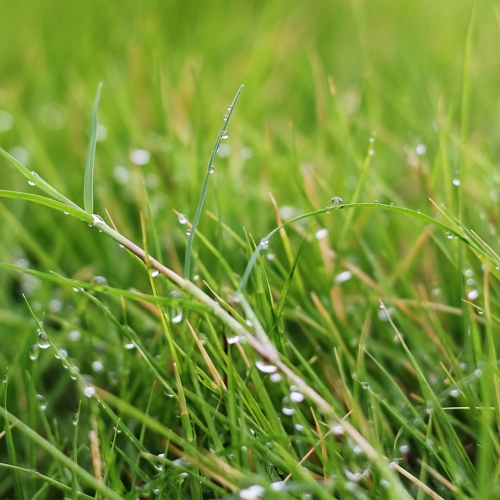 Ask Dr. Phipps: Spring Lawn Installation