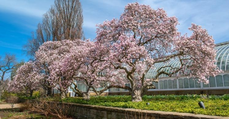 Biopgh Blog Magnolias Phipps Conservatory And Botanical Gardens