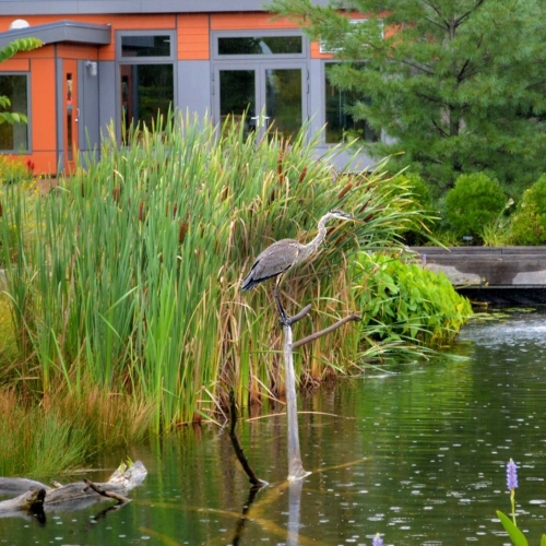 #bioPGH Blog: Great Blue Heron