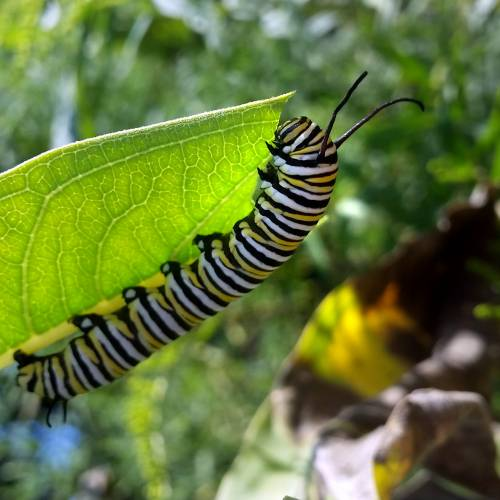 #bioPGH Blog: Monarch Butterflies