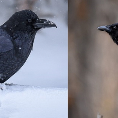 #bioPGH Blog: Ravens and Crows: The Birds with the Brains