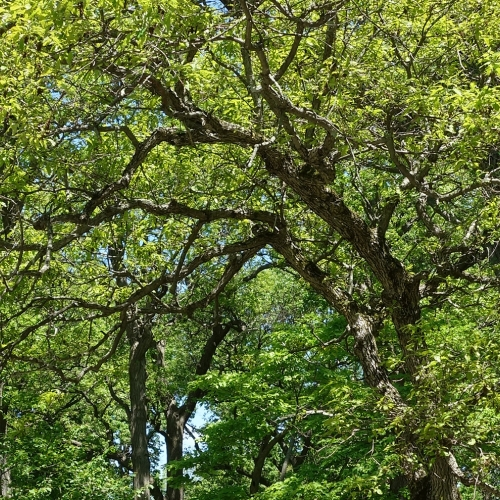 Ask Dr. Phipps: Oaks for Small Spaces