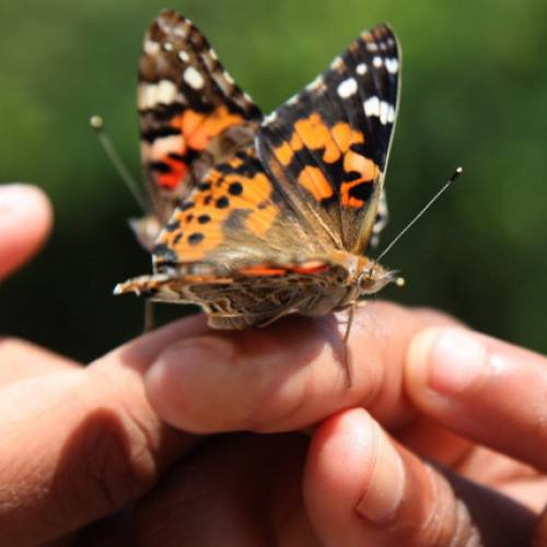 Home Connections: Raising Butterflies Indoors