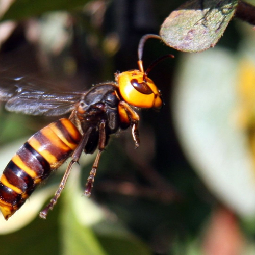 #bioPGH Special Update: Asian Giant Hornet