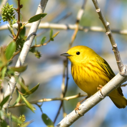 #bioPGH Blog: Yellow Warblers