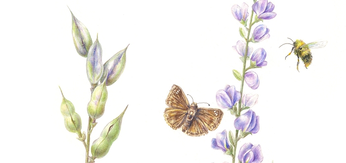 Natives For Your Garden: A Botanical Art Exhibit
